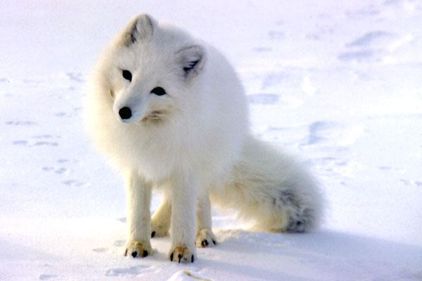 204_p_arctic_fox_s95_04481_p