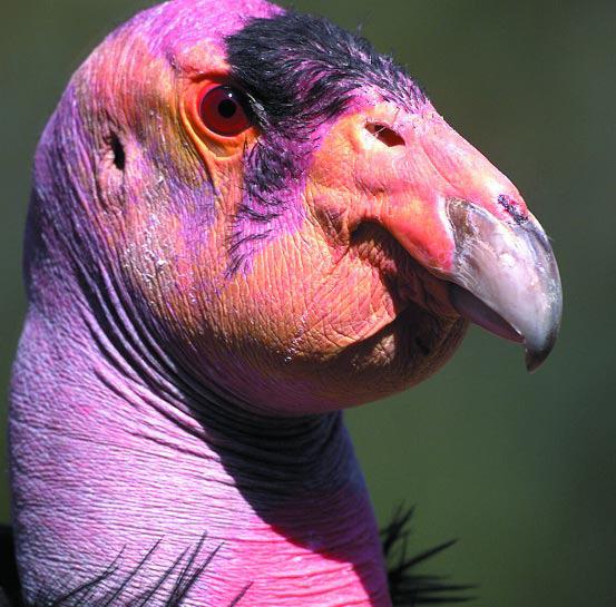 Closeup of the head of a condor bird