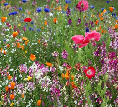 Field of blooming wild flowers