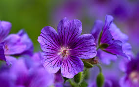 picture of violet flower